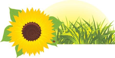 与草的向日葵。横幅