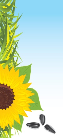 Sunflower with grass and pips. Banner Vector