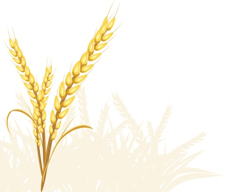 grain fields: Wheat ears Illustration