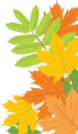 ash: Maple and ash leaves Illustration
