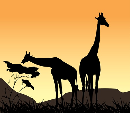 savanna: Two giraffes on a background of sunset Illustration