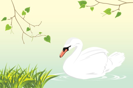 mute swan: Lonely white swan swimming in a pond