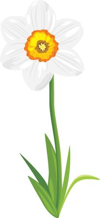 burgeon: Narcissus isolated on the white