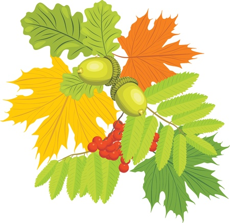 Acorns, rowan and maple leaves isolated on the white Illustration
