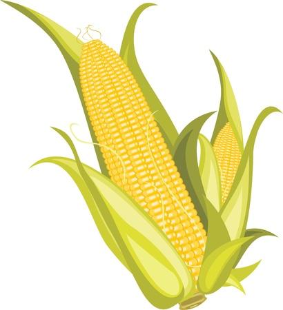 produits céréaliers: Deux épis de maïs isolés sur le blanc Illustration