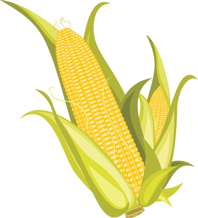 Two corncobs isolated on the white Vector