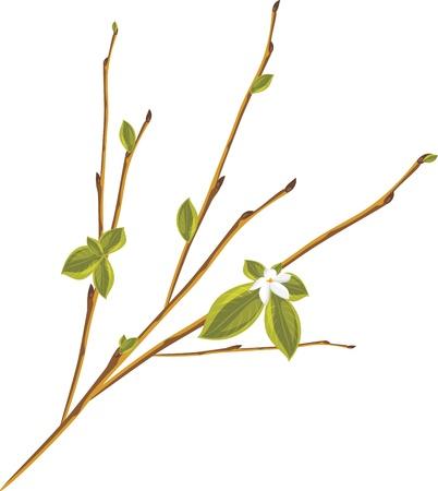 a sprig: Ramita floreciente aislado en el fondo blanco