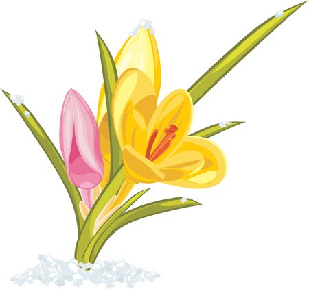 Bouquet of pink and yellow crocuses Illustration
