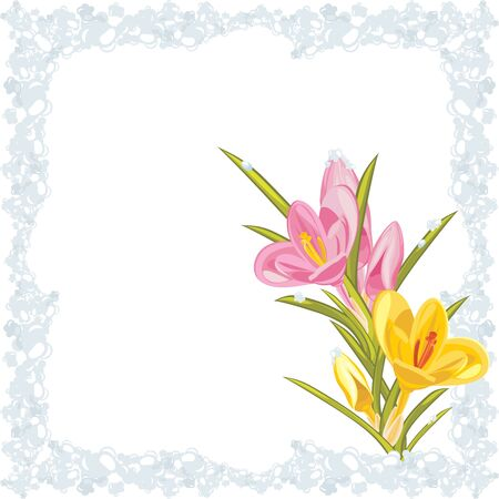 an inflorescence: Pink and yellow crocuses in the frozen frame