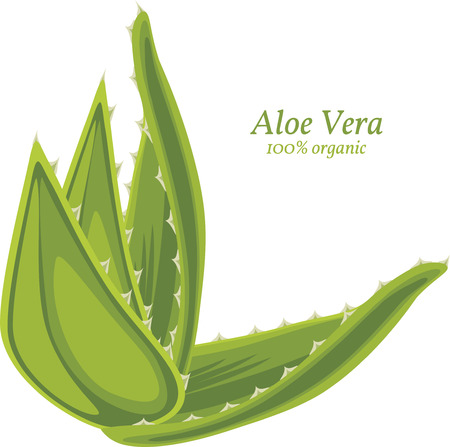 Aloe vera isolated on the white Vector