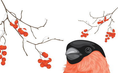 bullfinch: Bullfinch and snowy rowan branches Illustration