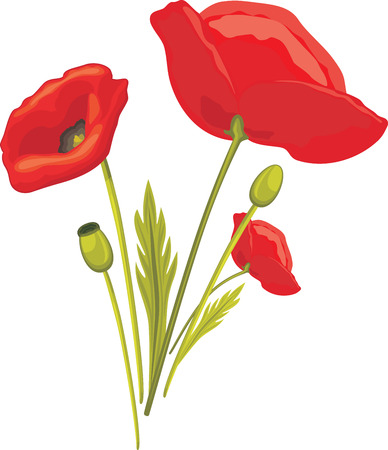 burgeon: Blooming red poppy isolated on the white