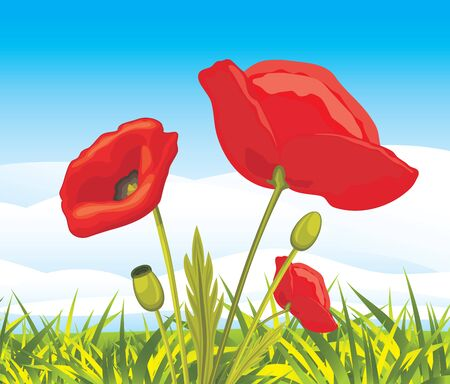 poppy field: Blooming red poppies on a landscape