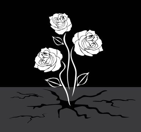 crannied: Three roses grows through the asphalt