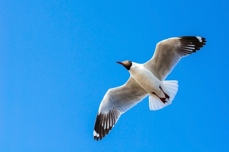 Seagull flying over the blue sky photo