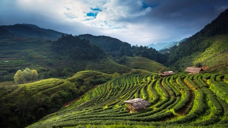Tea plantation in the Doi Ang Khang, Chiang Mai, Thailand