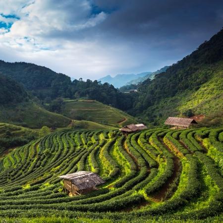 the national flag of kenya: Plantación de té en el Doi Ang Khang, Chiang Mai, Tailandia