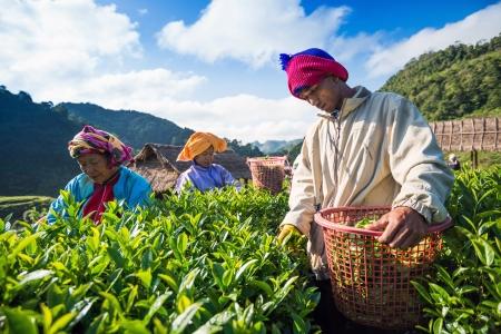 tea breaks: CHIANG MAI, THAILAND - OCT 25: Tea workers from Thailand breaks tea leaves on tea plantation on October 25, 2013 on a tea plantation Doi Ang Khang, Chiang Mai, Thailand