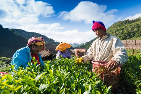 CHIANG MAI, THAILAND - OCT 25: Tea workers from Thailand break tea leaves on tea plantation on October 25, 2013 Doi Ang Khang, Chiang Mai, Thailand 에디토리얼