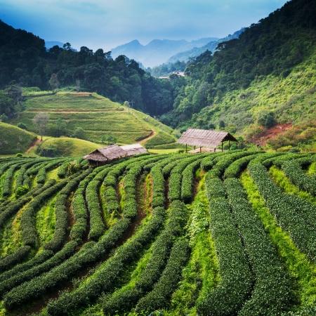 Tea plantation in the Doi Ang Khang, Chiang Mai, Thailand photo