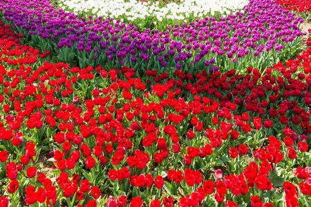 tulips field: Beautiful tulips field in park