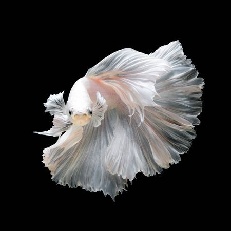 black fish: Close up of white platinum Betta fish or Siamese fighting fish in movement isolated on black background.