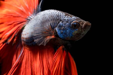 siamese fighting fish: Close up of Betta fish or Siamese fighting fish isolated on black background.