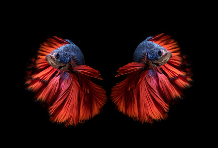fighting fish: Colourful Betta fish,Siamese fighting fish in movement isolated on black background.