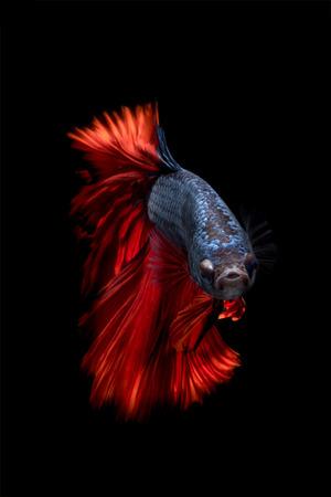 fighting fish: Close up of Betta fish or Siamese fighting fish in movment isolated on black background.