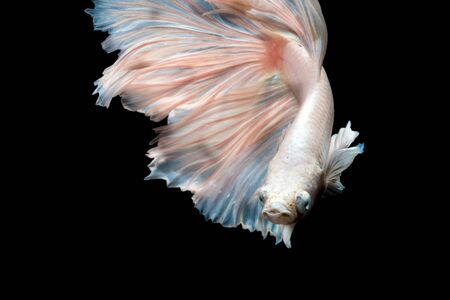 siamese fighting fish: Close up of Betta fish or Siamese fighting fish in movment isolated on black background.