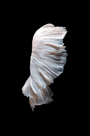 fine fish: Abstract fine art of moving fish tail of Betta fish,Siamese fighting fish isolated on black background