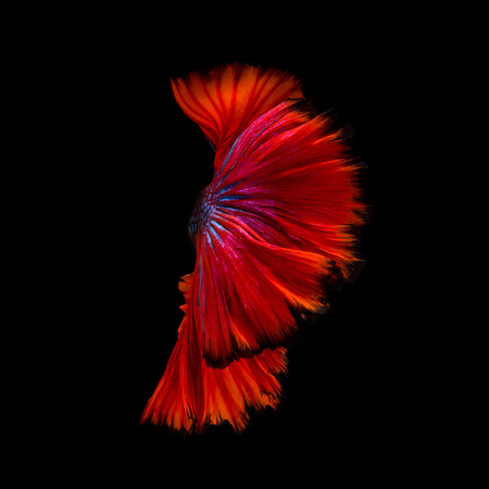 Abstract fine art of moving fish tail of Betta fish or Siamese fighting fish isolated on black background