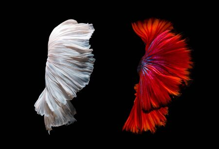 fine fish: Abstract fine art of moving fish tail of Betta fish or Siamese fighting fish isolated on black background