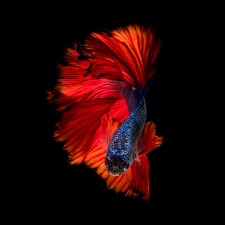 Colourful Betta fish,Siamese fighting fish in movement isolated on black background 스톡 콘텐츠
