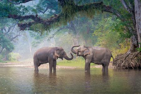 Aziatische olifanten in een natuurlijke rivier in diep bos, Thailand Stockfoto