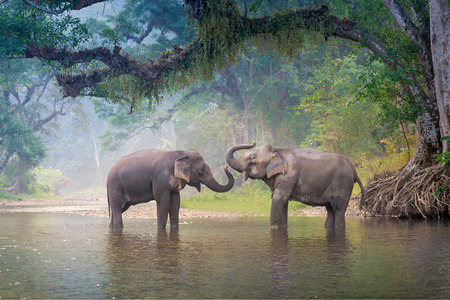 Asian Elephants in a natural river at deep forest, Thailand