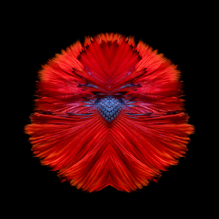fine fish: Abstract fine art fish tail free form of Betta fish or Siamese fighting fish isolated on black background.