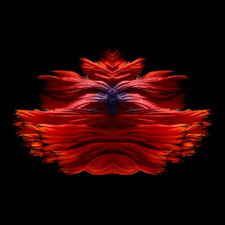 fish tail: Abstract fine art fish tail free form of Betta fish or Siamese fighting fish isolated on black background.