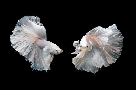 Betta の魚、黒い背景に分離した動きでシャムの戦いの魚 写真素材
