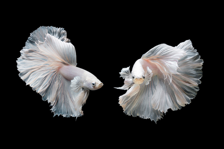 Betta fish,Siamese fighting fish in movement isolated on black background Stockfoto