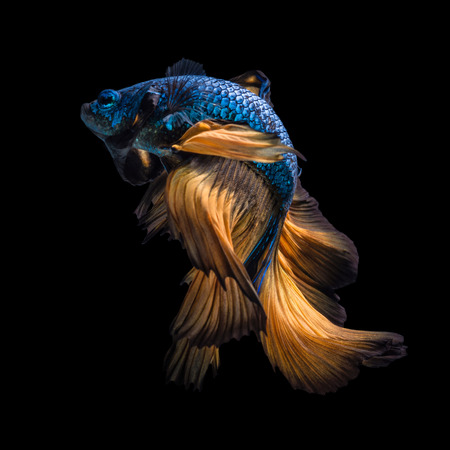 Colourful Betta fish,Siamese fighting fish in movement isolated on black background.