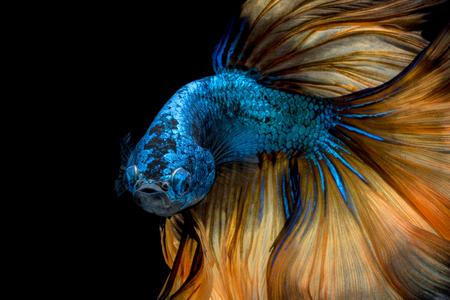 カラフルなベタの魚、黒い背景に分離した動きでシャムの戦いの魚。