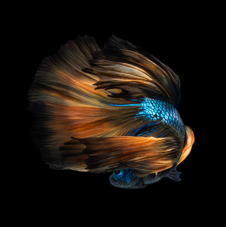 black fish: Colourful Betta fish,Siamese fighting fish in movement isolated on black background.