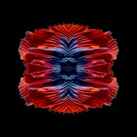fine fish: Abstract fine art fish tail free form of Betta fish or Siamese fighting fish isolated on black background
