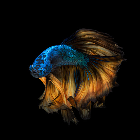 fineart: Betta fish or Siamese fighting fish in movement isolated on black background