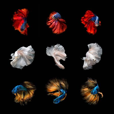 Beautiful Colourful Betta fish,Siamese fighting fish art collection in varies movement on black background. Banco de Imagens