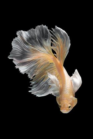 Betta の魚、黒い背景に分離したシャムの戦いの魚の芸術運動を閉じます。美術デザイン コンセプト。