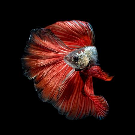 Primo piano movimento d'arte di pesce Betta, pesci siamesi di combattimento isolato su sfondo nero. Concetto di design d'arte di fondo. Archivio Fotografico - 81993626
