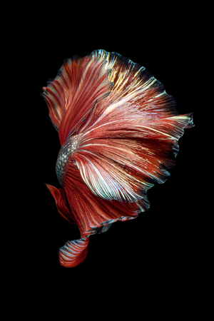 fineart: Close up art movement of Betta fish,Siamese fighting fish isolated on black background.Fine art design concept. Stock Photo