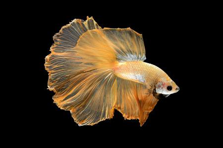 aquarium hobby: Close up art movement of Betta fish,Siamese fighting fish isolated on black background.Fine art design concept. Stock Photo